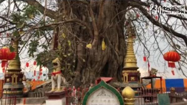 Yunnan pagoda entwined with banyan tree