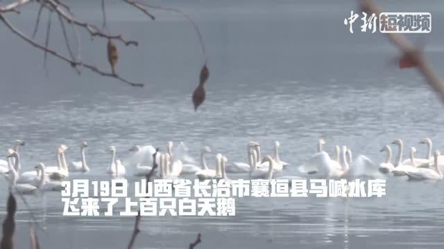 Migrating swans descend on Shanxi reservoir