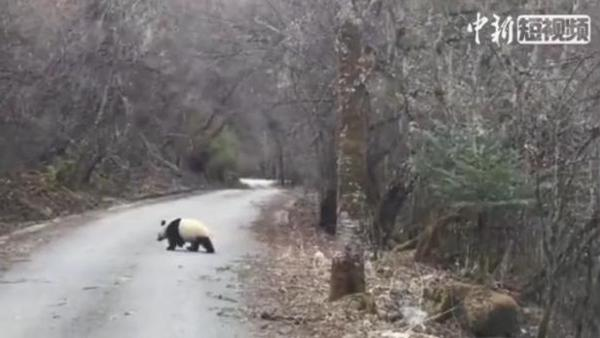 Wild panda snapped crossing road in Sichuan