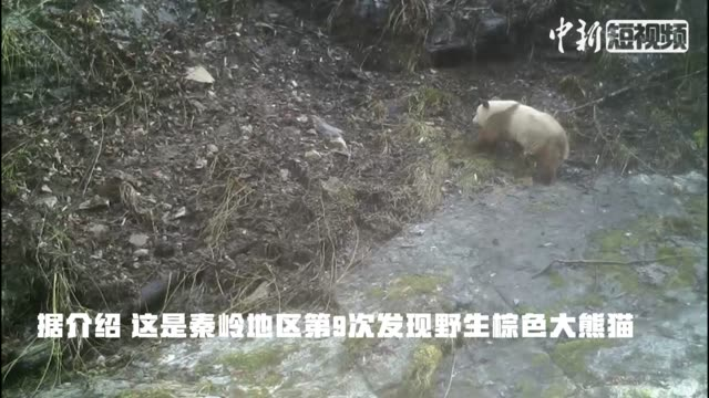 Extremely rare brown panda caught on camera in China