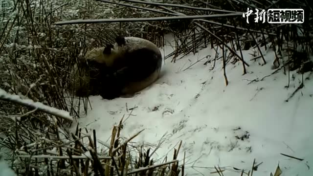 Giant panda mum breastfeeding cub in the wild