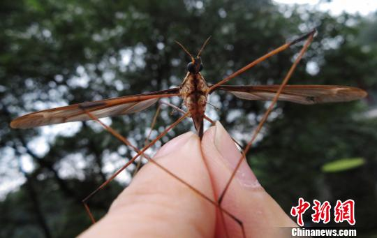 Giant mosquito found in Chengdu
