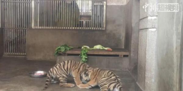 South China tiger twin cubs meet public in SW China zoo