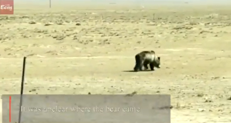 Brown bear caught roaming Qinghai pasture