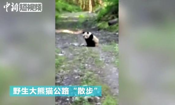 Wild panda caught wandering in former quake site