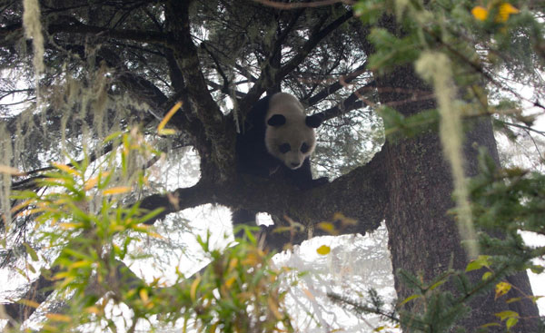 Taotao, the first panda to get wildlife training, was released a year ago in Ya'an, Sichuan province. He is spotted on Oct 30, 2013, and a physical examination confirmed it was Taotao and it has adjusted well to the wild during the past year. It was released again after the check-ups. Born in Wolong nature reserve in 2010, Taotao has received wildlife training in three stages, with each stage expanding his territory. After that, it was moved to Ya'an for a rejuvenation program at Liziping nature reserve. [Photo/Xinhua]