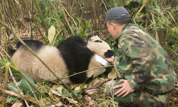 Taotao gets a physical examination, Oct 30, 2013. [Photo/Xinhua]