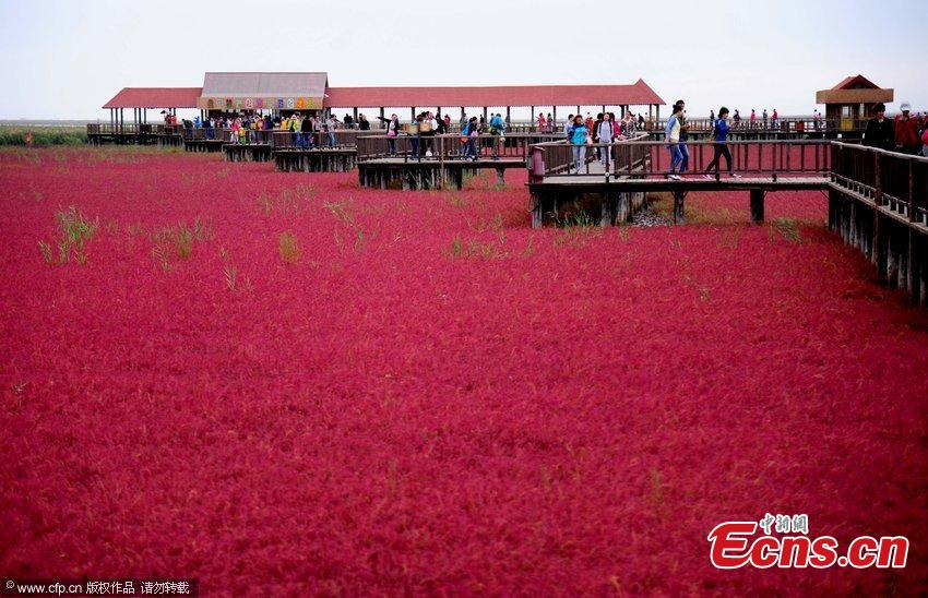 Amazing scenery of 'red beach' in Panjin, Liaoning