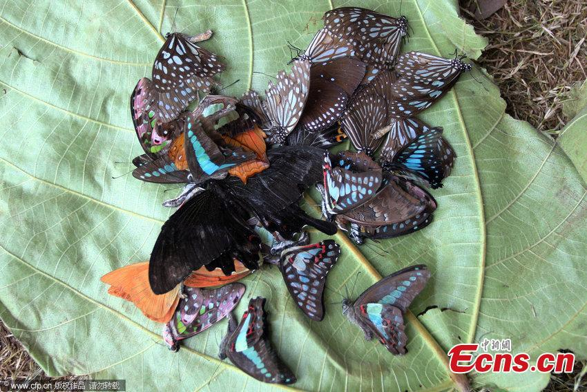 Butterflies used as publicity stunt, numerous death in two days