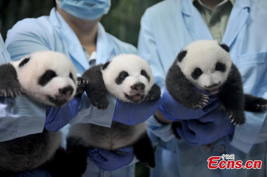 Rare panda triplets open eyes for 1st time
