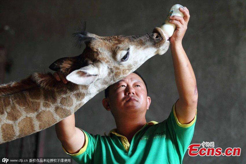 Baby giraffe fed on goat milk in E China zoo
