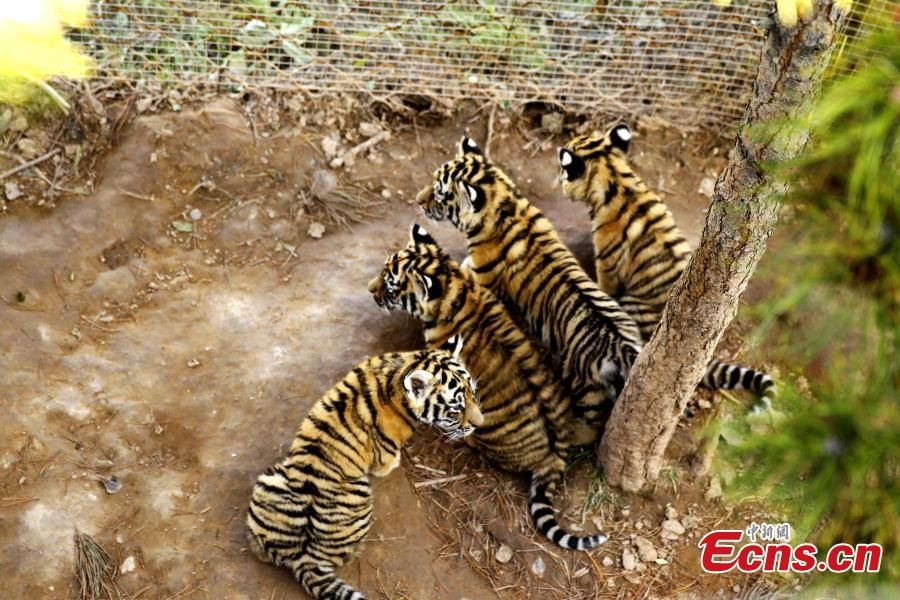 Siberian tiger quadruplets on the Qinghai-Tibetan Plateau