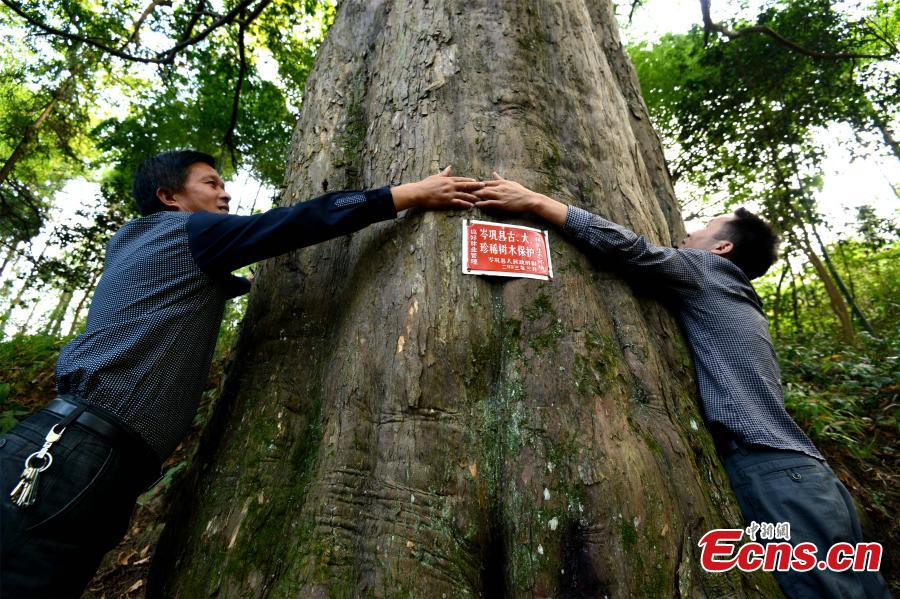 Asia's largest Taxus chinensis found in SW China county