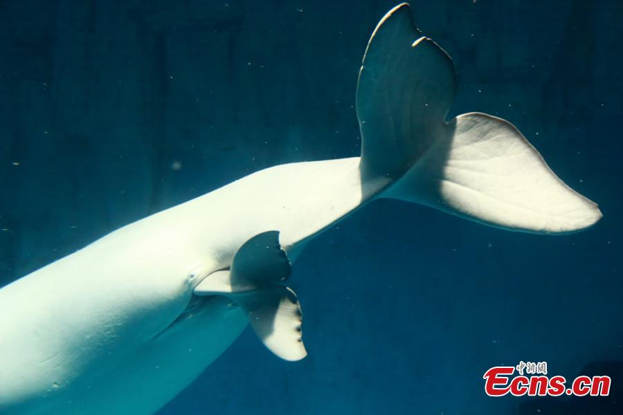 White whale gives birth at Changsha Underwater World