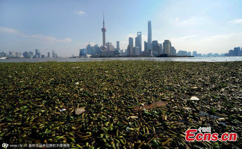 Water hyacinth creeps into the Bund in Shanghai