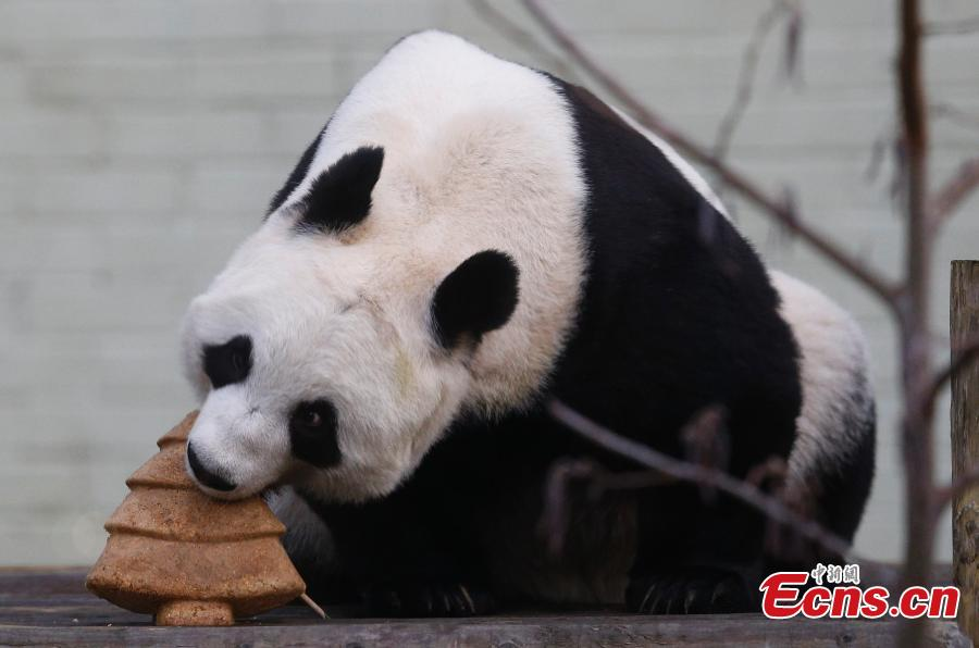 Giant panda Tian Tian receives Christmas treat at Edinburgh Zoo