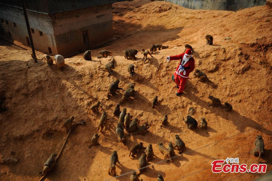 Monkeys receive Christmas treat at Yunnan Wild Animal Park