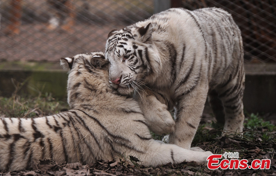 White tigers ready to welcome visitors in Chongqing