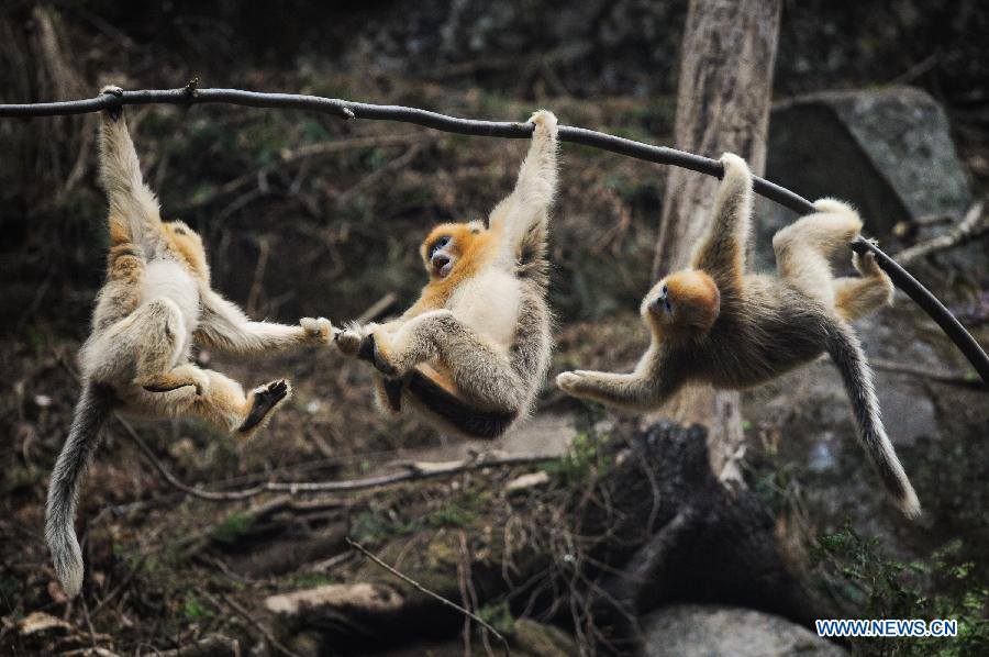 Golden monkeys play at NE China's Foping Giant Panda Valley