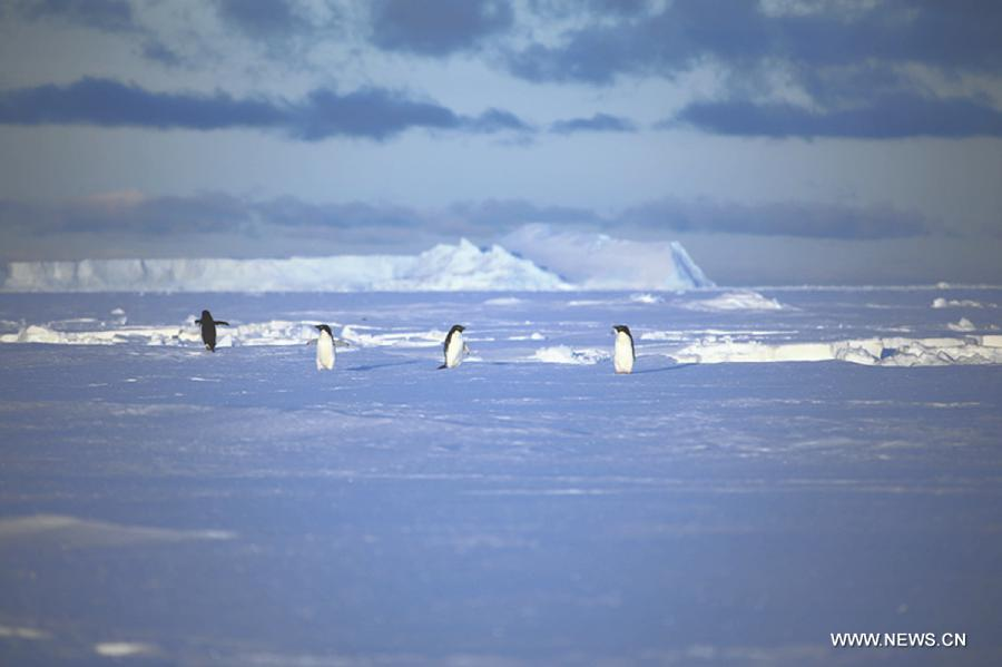Penguins seen near China's Zhongshan Antarctic Station