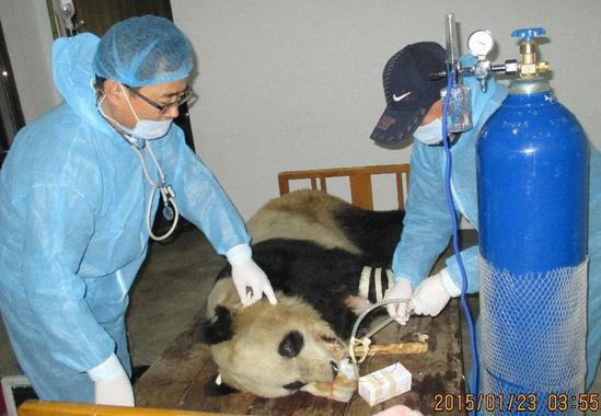 Third panda dies from virus in NW China