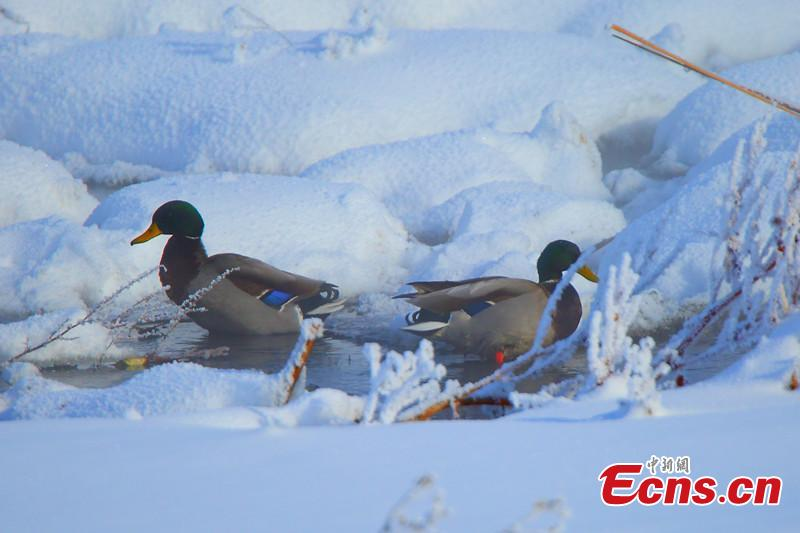 Wild ducks find home in Xinjiang wetland