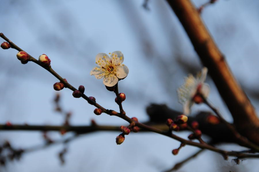 Plum blossom seen in E China's Hangzhou