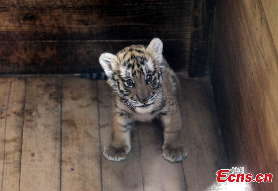 Abused South China tiger cub still healthy