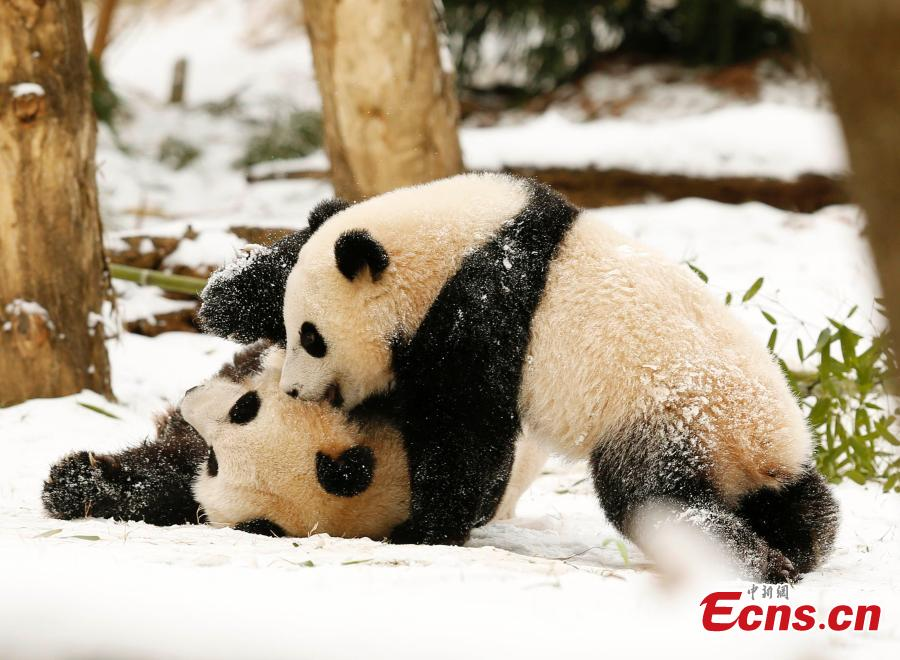 Panda Mei Xiang plays with daughter in snow