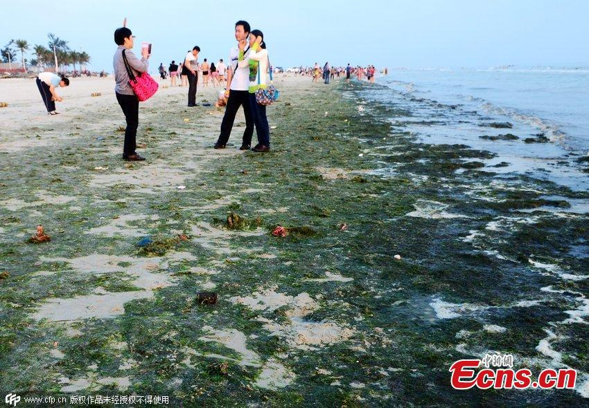 Beach invaded by annoying algae