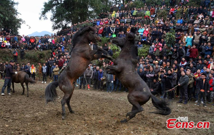 Miao ethnic group marks festival with horse fight
