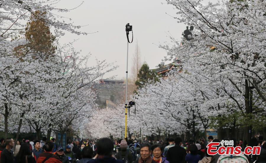 Photography fever in cherry blossom season
