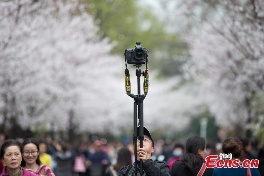 Tourists flood 'cherry blossoms' road in Nanjing