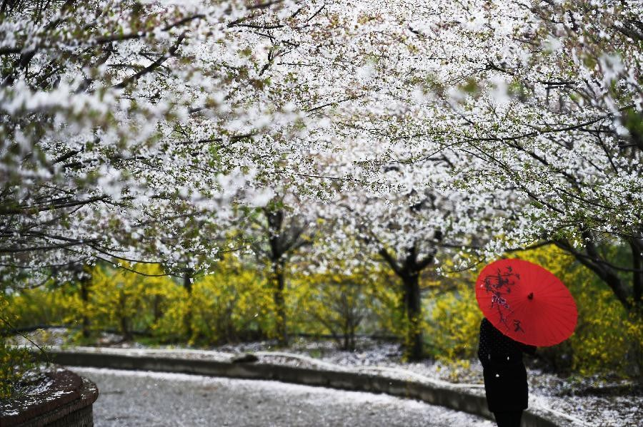 Cherry blossoms in Zouping, E China
