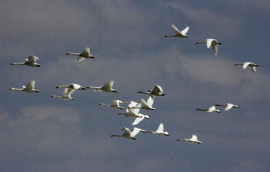 Better environment attracts increasing number of swans in N China