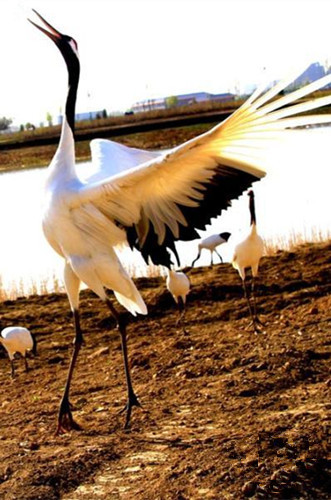 Red-crowned cranes fit in with new environment