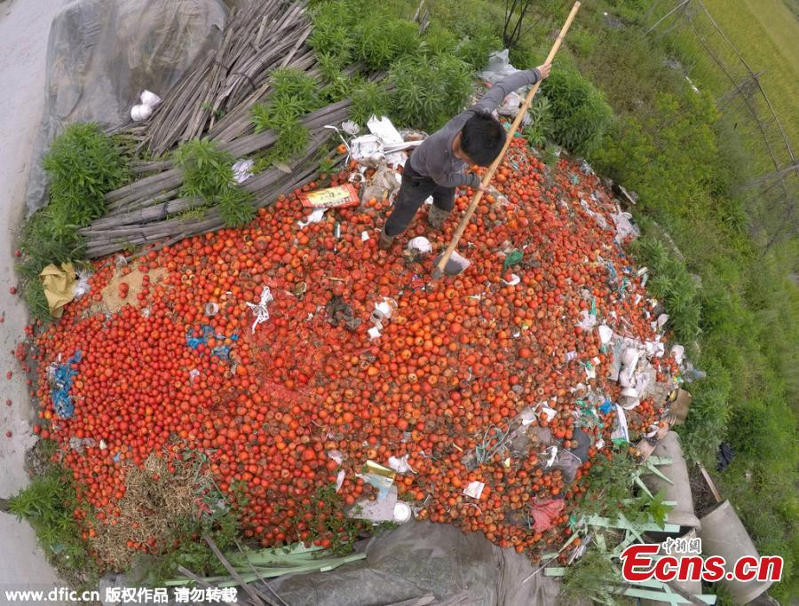 Falling prices lead to deserted tomatoes