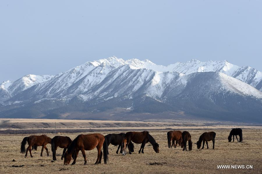 Horses graze at Shandan Horse Farm in NW China