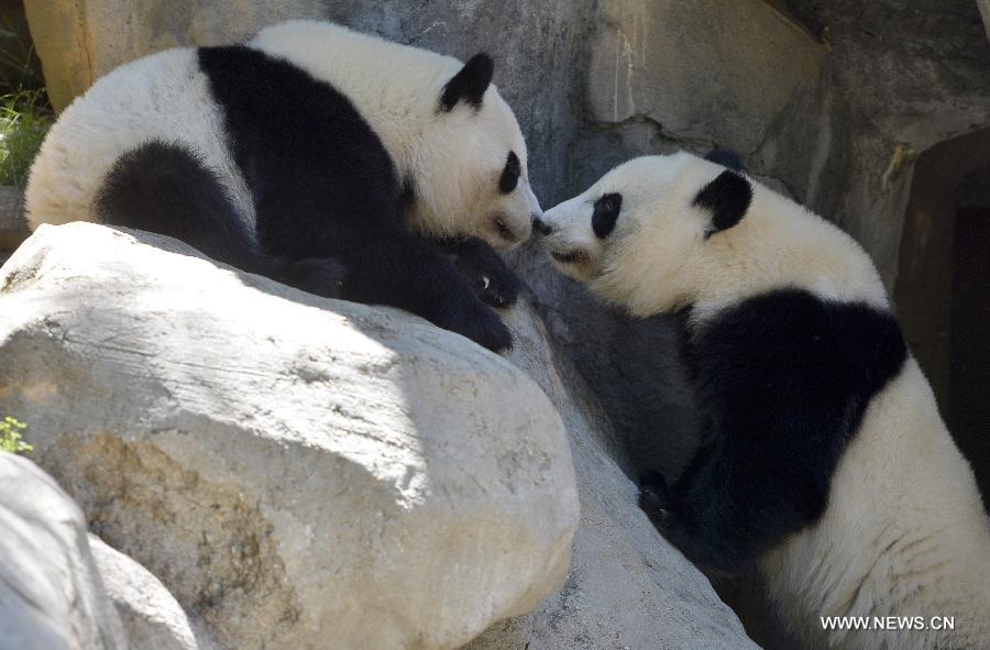 First surviving pair of panda twins in U.S.