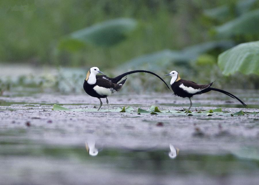 Jacanas seen on wetland by Saicheng Lake in E China