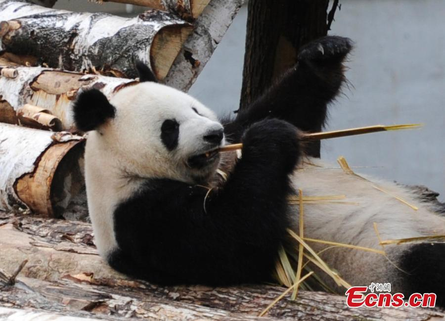 Pandas meet the public for the first time in NE China