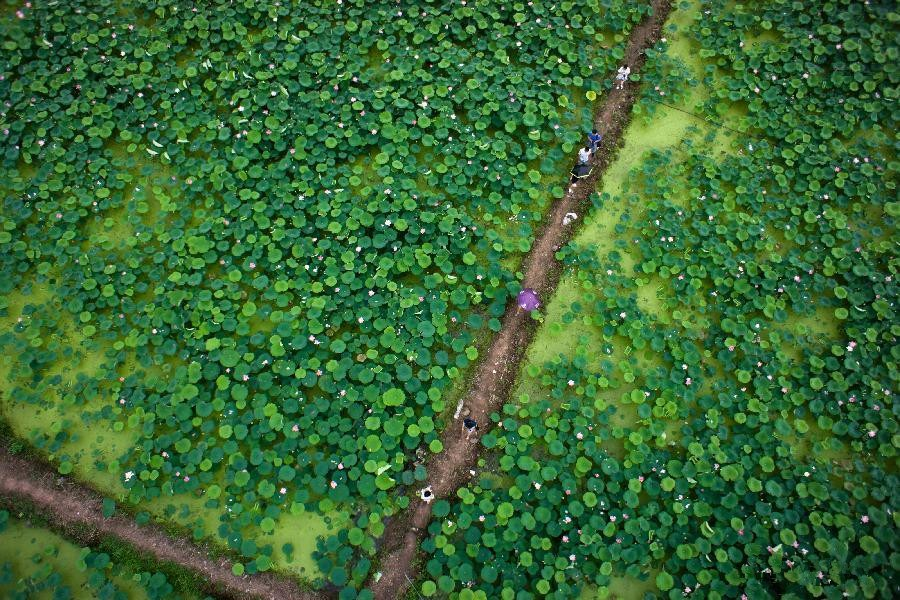 Aerial view of lotus pond in E China