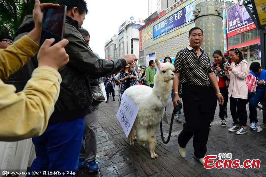 Stock loser sells pet alpaca in Kunming