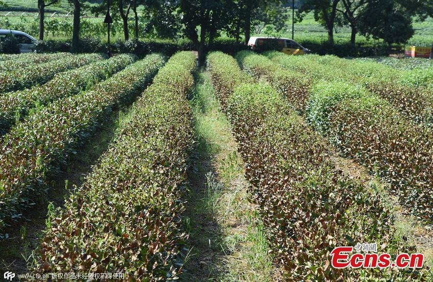 Heat wave damages famous Dragon Well tea in Hangzhou