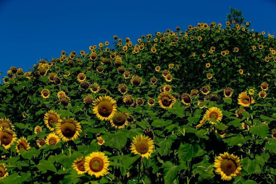 Scenery of sunflowers on Huangshan Mountain
