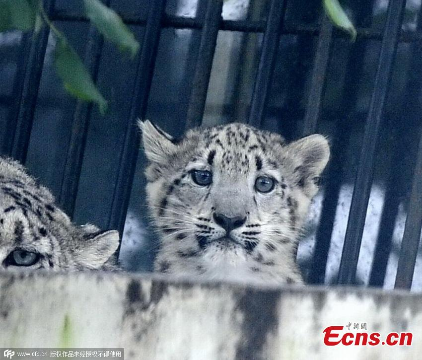 Rare snow leopard cub turns 100 days old