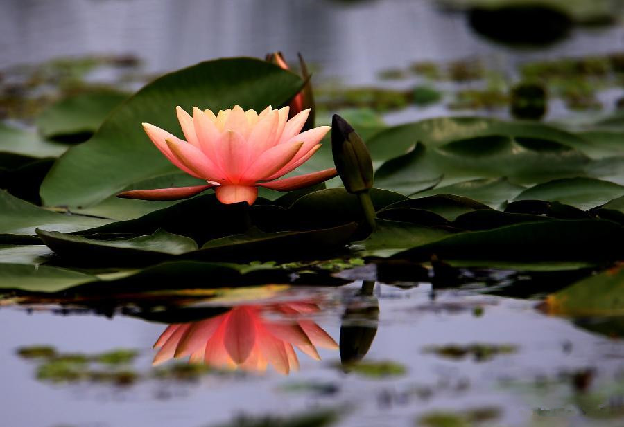 Blooming lotus flowers seen in Anhui
