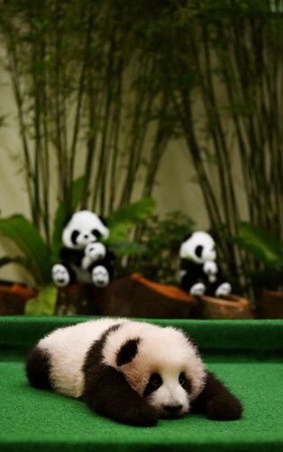 Giant panda cub debuts in Malaysia National Zoo