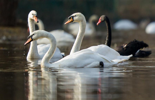 Elegant swans in north China's Inner Mongolia