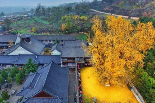 4,000-year-old ginko tree in North China